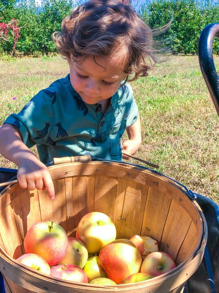 toddler pointing at apple in apple picking orchard
