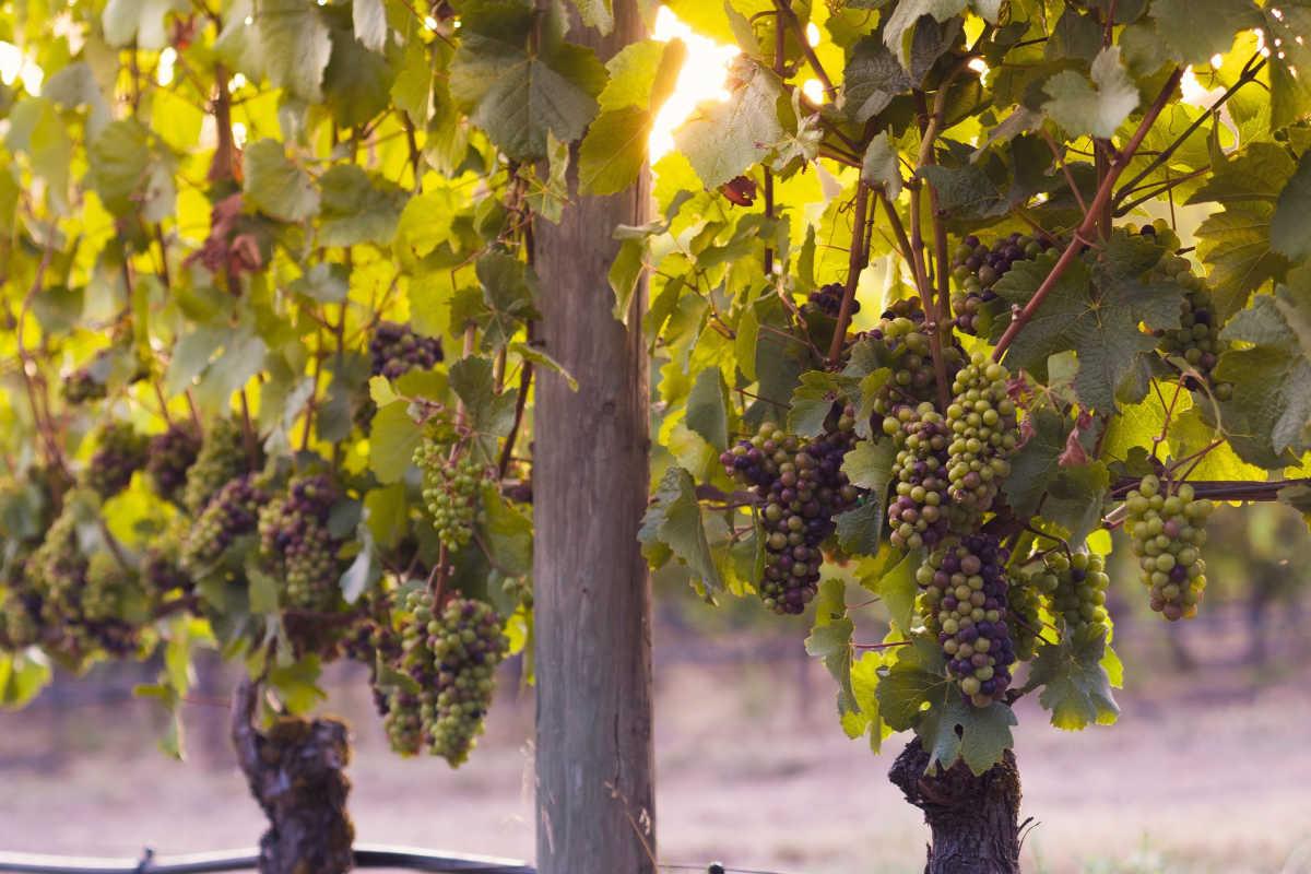 Wine Vineyard in Idaho