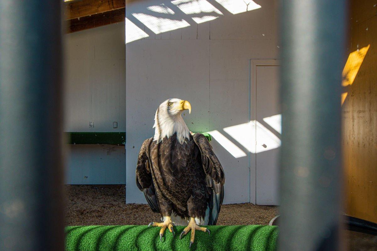 Bald Eagle in an animal sanctuary