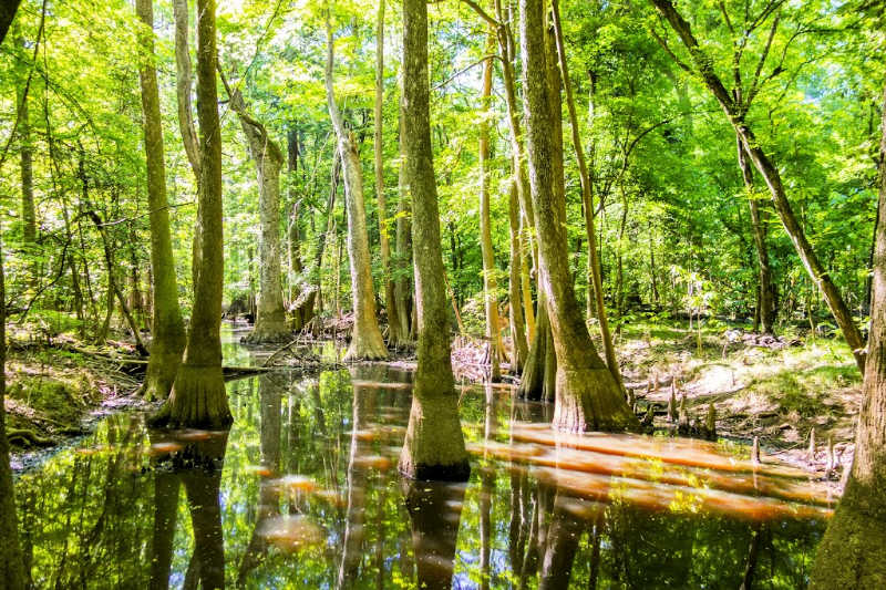 trees in swampland at congaree national park