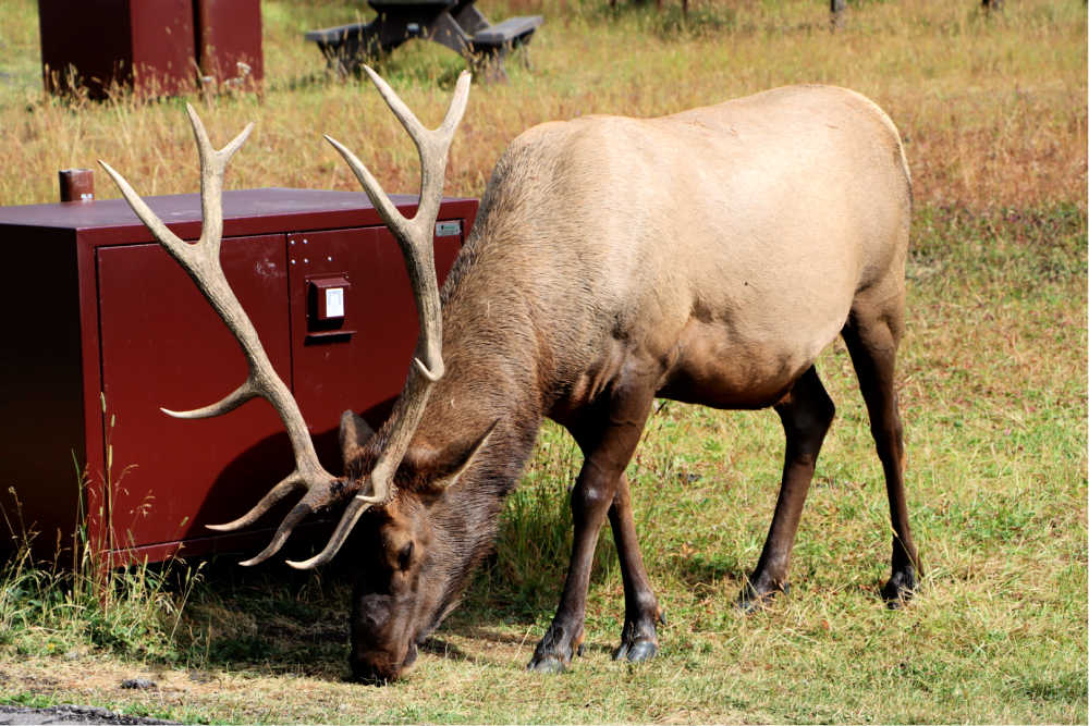 Bull elk grazing on grass in front of campsite bear box