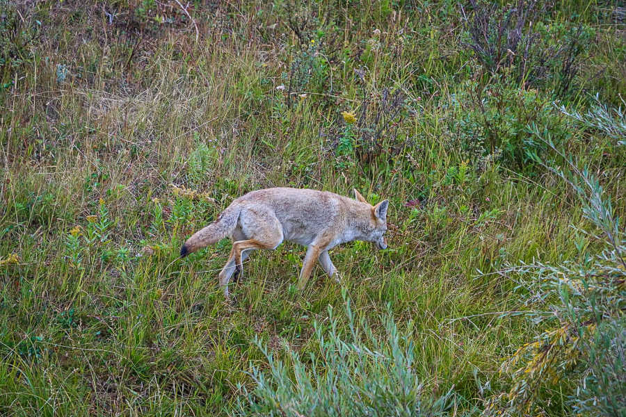 coyote running through grassy meadow