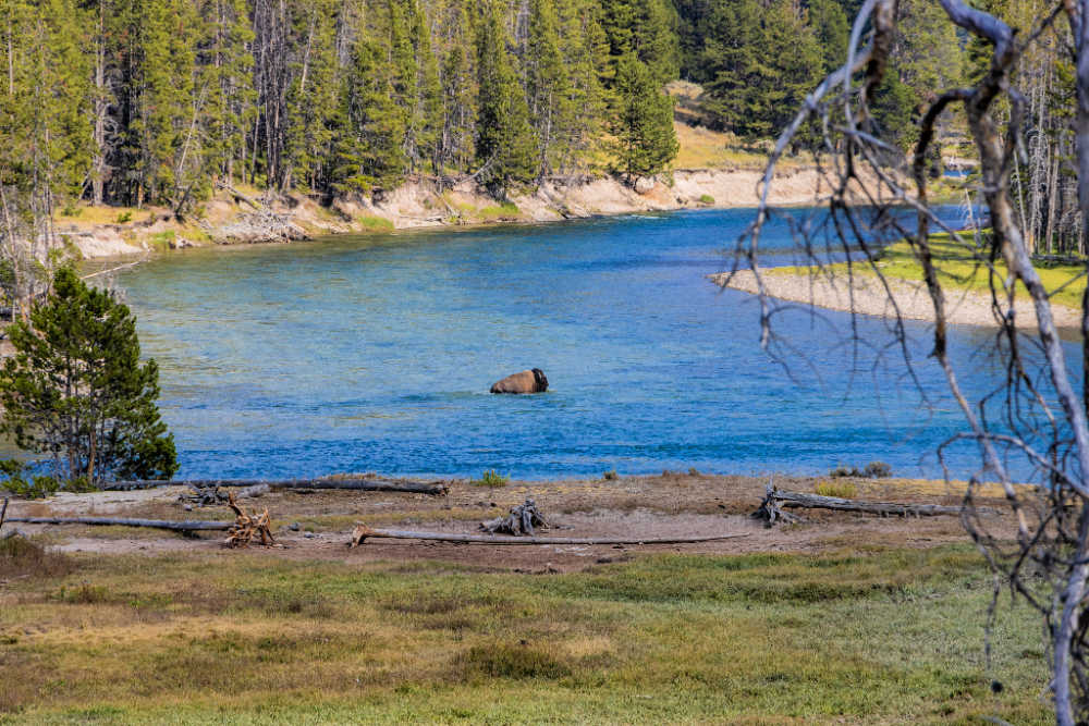 Bison walking through river in Yellowstone National Park