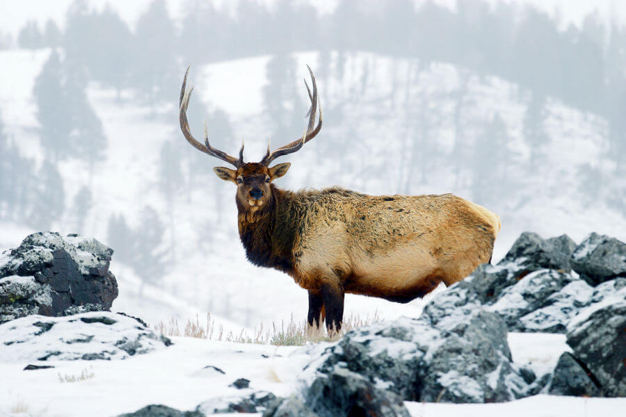 On a cold winter morning, a bull elk poses for his portrait in Yellowstone.