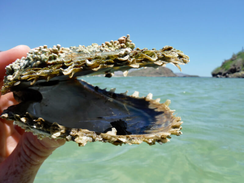 A big claim shell being held up to camera with a clear blue beach behind it.