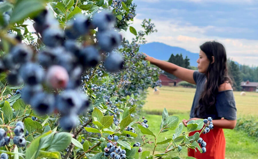 Blueberry bushes in frame with woman with long brown hair in background picking blueberries.